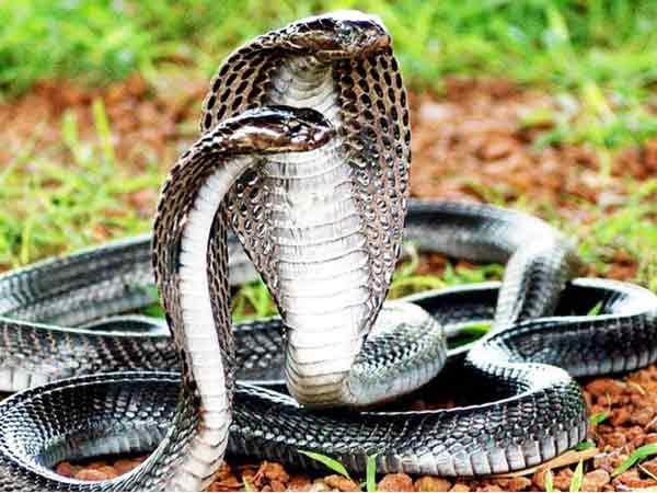 Mơ thấy 2 con rắn là điềm lành hay dữ