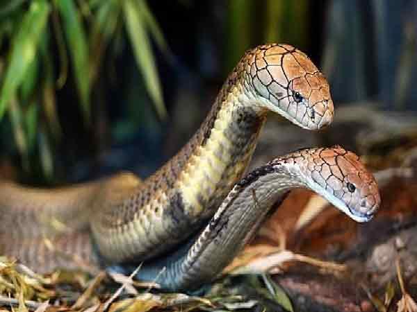 Mơ thấy rắn nên đánh con gì?