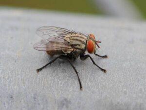 Nằm mơ thấy con ruồi là điềm hung hay cát ? Đánh số đề con gì ?