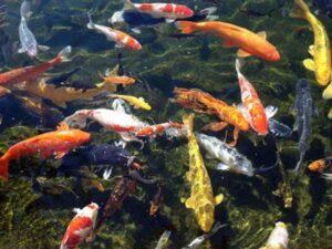 Ngủ mơ thấy nhiều cá đánh số mấy ? là điềm tốt hay xấu ?